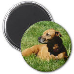 dog,pitbull/boxer mix 2 inch round magnet