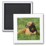 dog,pitbull/boxer mix 2 inch square magnet