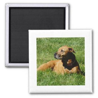 dog,pitbull/boxer mix magnet