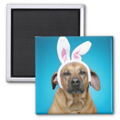 Dog portrait wearing Easter bunny ears Fridge Magnet