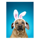 Dog portrait wearing Easter bunny ears Postcard