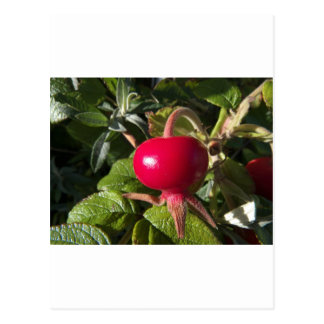 Dog Rose of the hedge Postcard