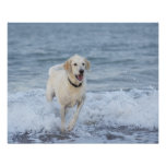 Dog running in water at beach. poster