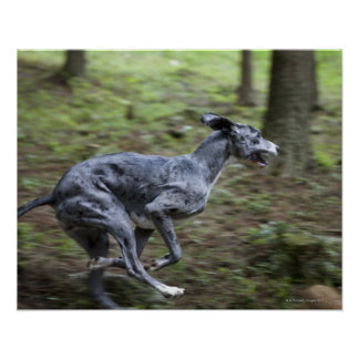 Dog running in woods poster