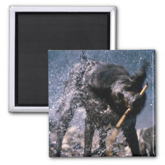 Dog Shaking Water from His Coat 2 Inch Square Magnet