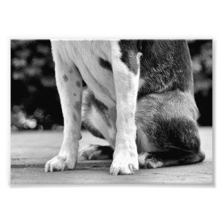 Dog Sit Boston Terrier Photo Print