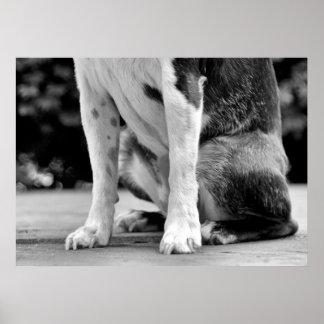 Dog Sit Boston Terrier Poster