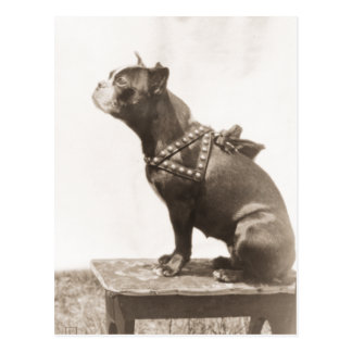 Dog Sits For A Picture Post Cards