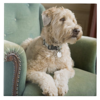 Dog sitting in armchair ceramic tile