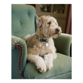 Dog sitting in armchair poster
