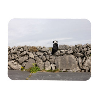 Dog sitting on a traditional Irish stone wall on Magnet