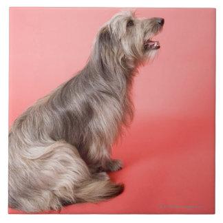 Dog sitting large square tile