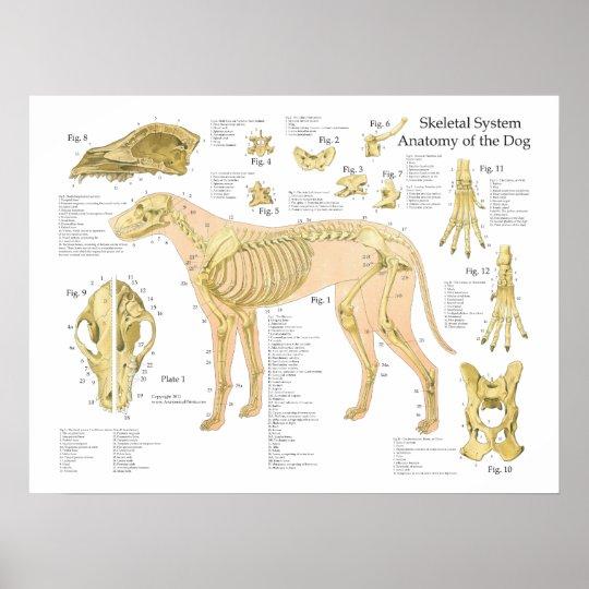 Dog Skeletal Anatomy Poster 18 X 24 Zazzle