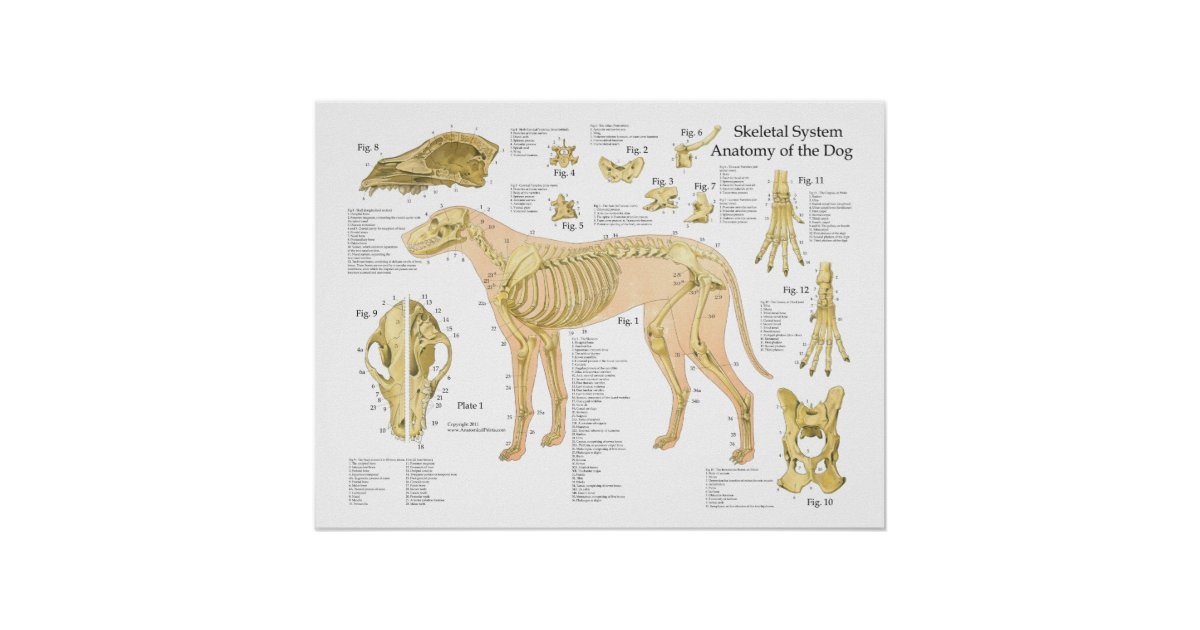Dog Skeletal Anatomy Poster 18\