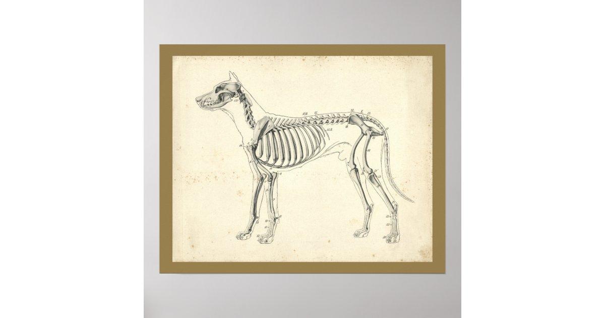 Dog Skeleton Bones Veterinary Anatomy Print | Zazzle.com