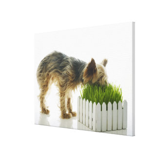 Dog sniffing neighbors yard shot in studio gallery wrap canvas