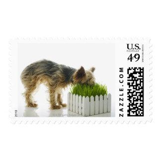 Dog sniffing neighbors yard shot in studio postage