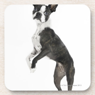 dog standing on 2 legs looking at camera coaster