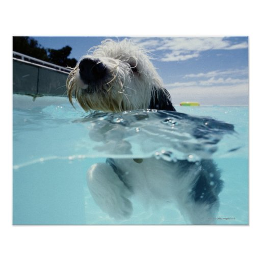 Dog Swimming In A Swimming Pool Poster Zazzle