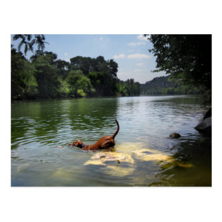 Dog Swimming Ladybird Lake - Downtown Austin Texas Postcard