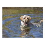 Dog swimming postcard