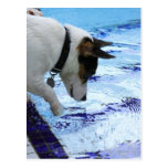 Dog touching water at the swimming pool postcard