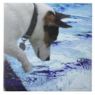 Dog touching water at the swimming pool ceramic tiles