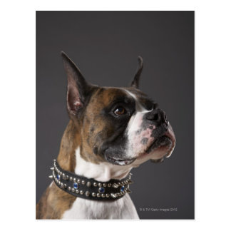 Dog wearing collar, looking away postcard
