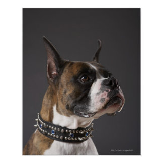 Dog wearing collar, looking away poster