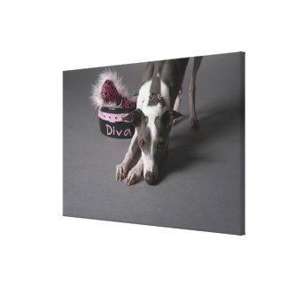 Dog with diva bowl, sniffing floor stretched canvas prints