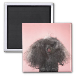 Dog with hair in front of face and tongue out magnet