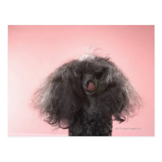 Dog with hair in front of face and tongue out postcard