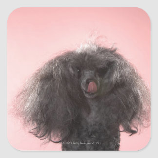 Dog with hair in front of face and tongue out square sticker