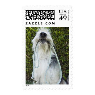 Dog with leash in mouth postage