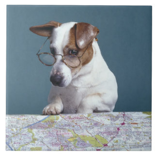 Dog with reading glasses studying map tile