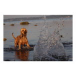 dog with water splash posters