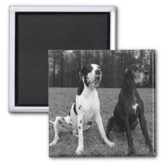 Dogge alemán, Great Dane, Perros, Dogue Allemand Imán Cuadrado