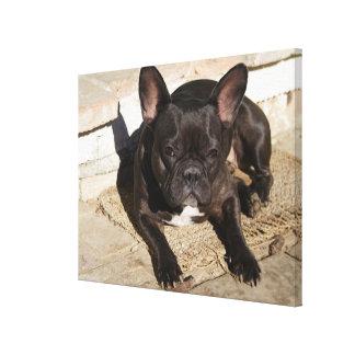 Dogo francés malhumorado impresión en lienzo