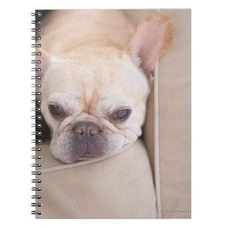 Dogo francés que descansa sobre el sofá libros de apuntes
