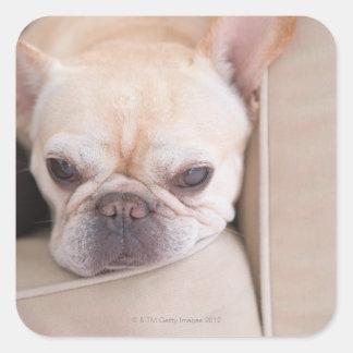 Dogo francés que descansa sobre el sofá pegatina cuadrada