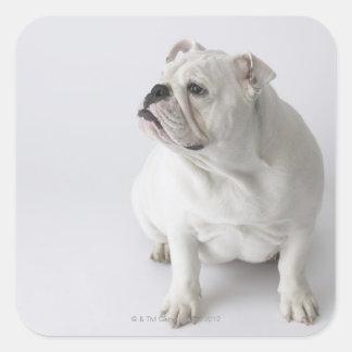 Dogo inglés blanco pegatinas cuadradases personalizadas