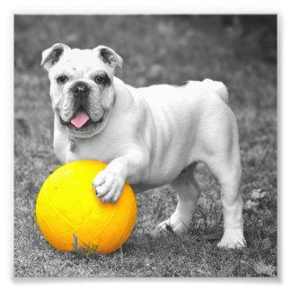 Dogo inglés blanco y la bola amarilla fotografía