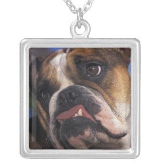 Dogo inglés collar plateado
