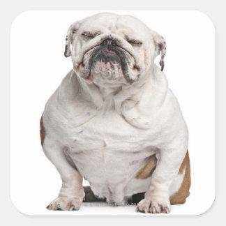 Dogo inglés sentándose calcomania cuadradas personalizadas