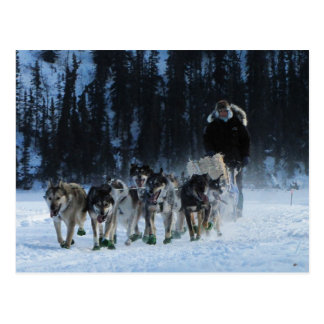 Dogs and Musher Postcard