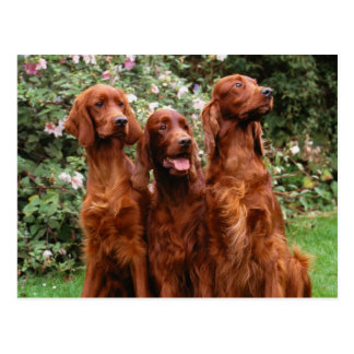 Dogs Post Card