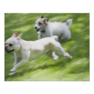 Dogs running in lawn poster