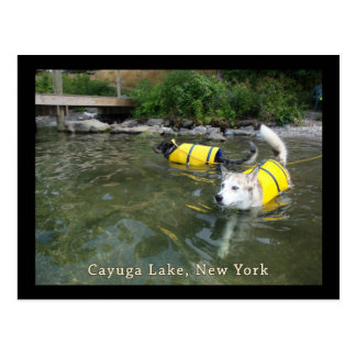 Dogs Swimming Life Jackets Postcard