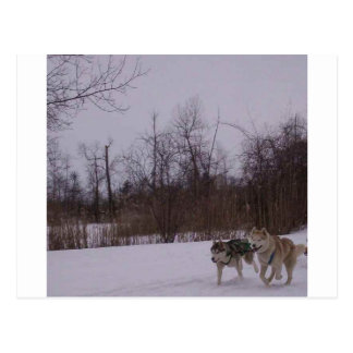 Dogsledding fun postcard