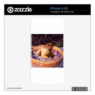 Dogue de Bordeaux Sitting on Basket full of Petals iPhone 4S Decal